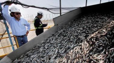 SNP: Pesqueras peruanas no esperan gran impacto de El Niño en la anchoveta