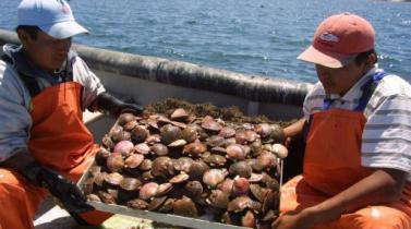 Niño Costero afecta al 80% de la producción peruana de conchas de abanico