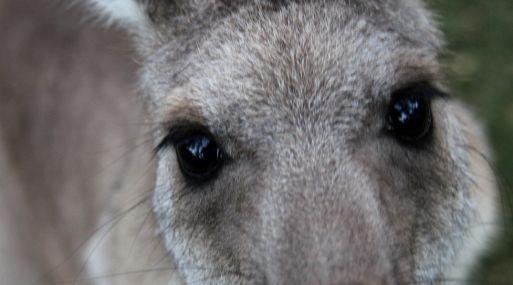 Los canguros causan la mayoría de accidentes con animales en Australia.
